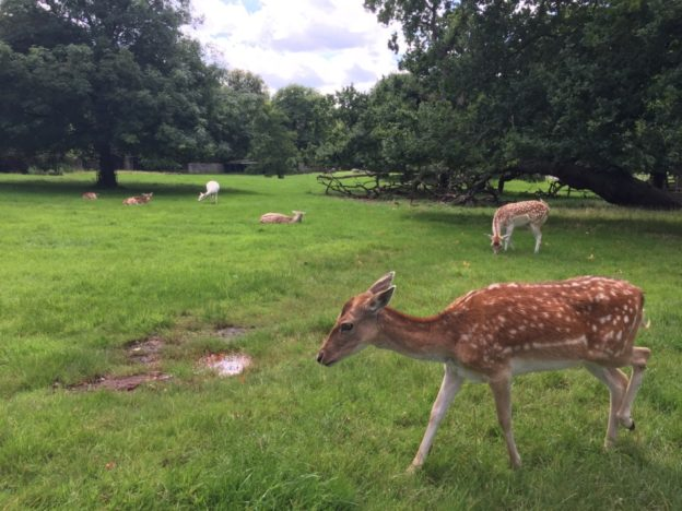 Randi was very excited by the deer in Golders Hill Park