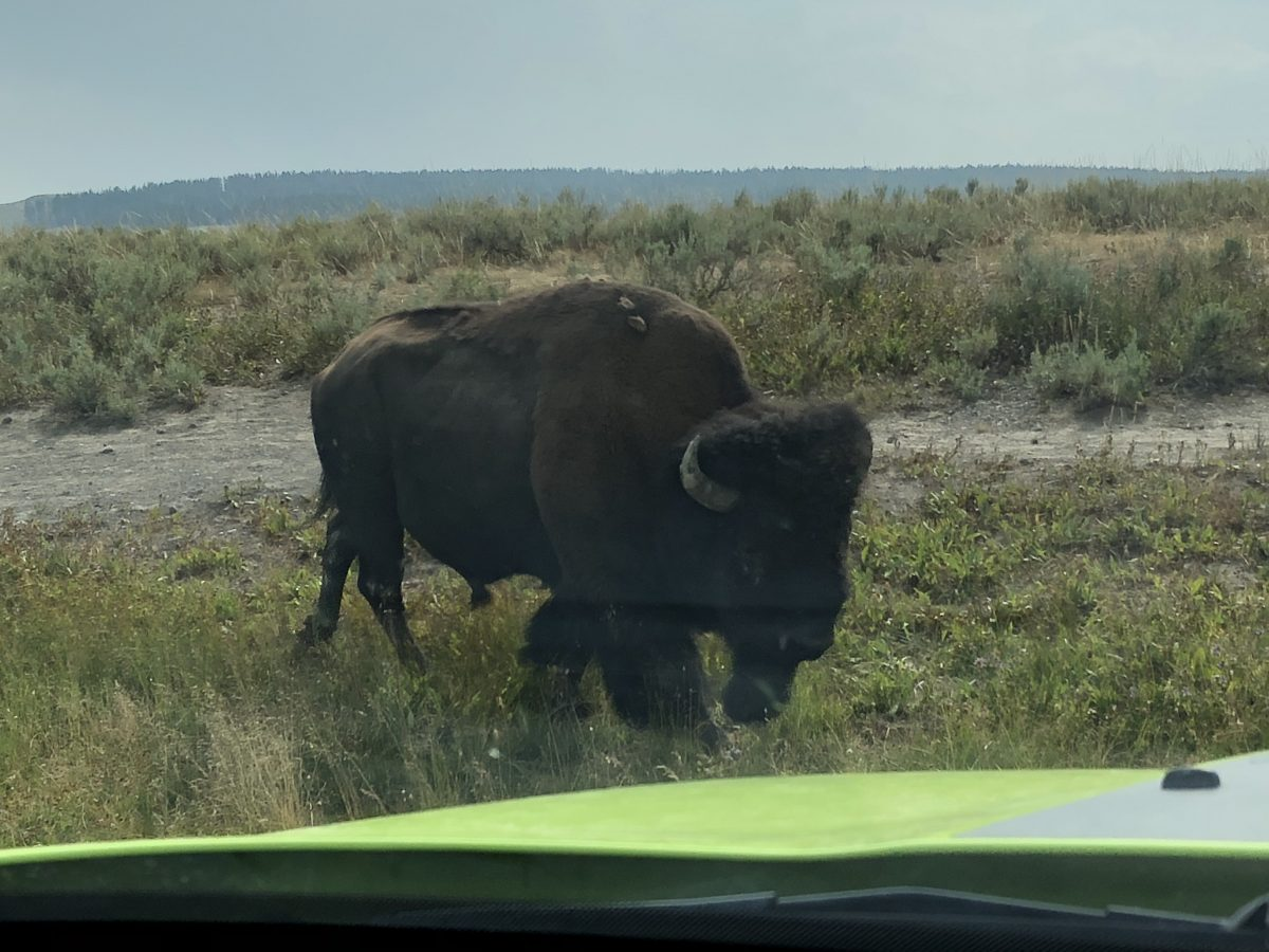 A bison finds our car